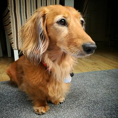 Cookie on the lookout (35mmMan) Tags: cookie minidachshund sausagedog dachshund hound shadedred longhaired wiener doxie