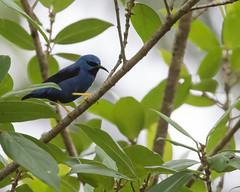 Shining Honeycreeper (J.B. Churchill) Tags: birds costarica heredia laselvaotsreserve places shho shininghoneycreeper tanagershoneycreepers taxonomy cr laselva