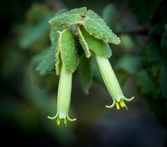 Correa reflexa (loveexploring) Tags: australia australiannativeplant correareflexa mountkaputarnationalpark endemicplant flower leaf nativefuchsia plant shrub