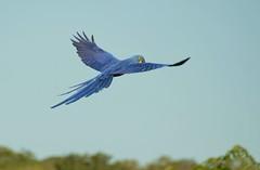 Pantanal 258 (tommasodonelli) Tags: pantanal