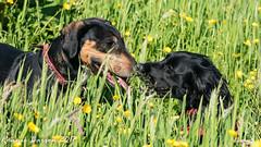 pals (RCB4J) Tags: ayrshire nature rcb4j ronniebarron scotland sigma150500mmf563dgoshsm sonyilca77m2 art falcon perigine photography raptor wildlife dogs sprocker siameselurcher lilahbeaugregard babygrace dobermanterrier fun sunshine play