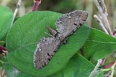 Currant Pug. (Eupithecia assimilata) (Garry Barlow) Tags: currantpug pugmoth eupitheciaassimilata