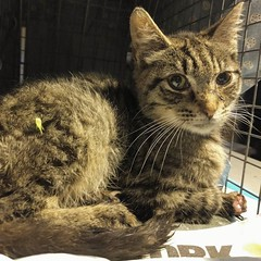 Gilfoyle needs help! His paws suffered massive trauma, possibly due to chemical burns. He's coming home to us tonight along with a giant vet bill. Check the link in our bio for his story and please donate if you can! #helpgilfoyle #recoverycat #tabbykitte (Jimmy Legs) Tags: gilfoyle needs help his paws suffered massive trauma possibly due chemical burns hes coming home us tonight along with giant vet bill check link our bio for story please donate if you can helpgilfoyle recoverycat tabbykitten