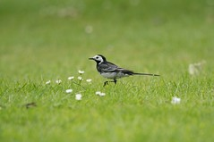 Wagtail (Peter Shergold) Tags: 150600 a9 sigma sony birds sussex test wagtail copyrightpetershergold
