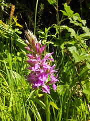 Wild Orchid (Cornishcarolin. Stupid busy!! xx) Tags: cornwall ryansfieldsterth nature flowers orchids rspb arborsquare~anaturegroup frogpondflorals