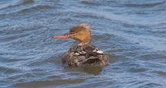 7K8A8320 (rpealit) Tags: scenery wildlife nature edwin b forsythe national refuge brigantine female redbreasted merganser bird