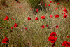 Hectic poppies (Karol ...) Tags: poppy poppies windblown wind windy textures grass red vermillon
