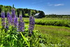 Wild Purple Lupines (Tom Mortenson) Tags: lupines wildflowers logbarn field purplelupines canon digital canon6d farmfield farming agriculture wisconsin usa midwest america scenery northamerica logbuilding nevawisconsin floral langladecounty scenic purple colorful canoneos 1740l northernwisconsin landscape hdr photomatix tonemapping barn rural country outdoor colour color geotagged lupinusperennis