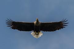 White tailed Sea Eagle (7) (neilblack754) Tags: skye victor whuite tailed sea eagle glenelg