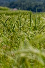 IMG_0588 (Ela&Piotr) Tags: bali indonesia indonezja jatiluwih ricefields