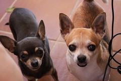 Perritos (yrayagómezpérez) Tags: perritos dod nina fisco marrón brown gris amore amor love amigos friends wilflife animales animals vida life peace paz canon