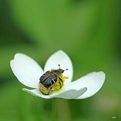 Scarabée des marguerites / Bee-mimic Flower-beetle (alain.maire) Tags: coleoptera coléoptère scarabaeidae scarabée beetle cetoniinae trichioticusassimilis scarabéedesmarguerites beemimicflowerbeetle nature quebec canada