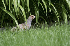 Gray Partridge (featherweight2009) Tags: graypartridge perdixperdix partridges grounddwellingbirds birds