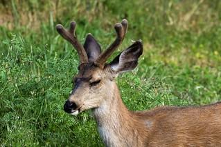 Black-tailed Deer (Odocoileus hemionus columbianus) Buck