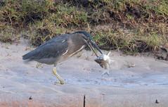 striated heron (Butorides striata)-2813 (rawshorty) Tags: rawshorty birds australia nsw portmacquarie