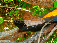 (Karen Garcia Marquez) Tags: pequeña polilla colores naturaleza paisajes biologia ecologia mariposa alas plegadas cambur platano comiendo