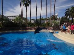 DSC00576 (jrucker94) Tags: vegas water dolphin swimming show secretgarden