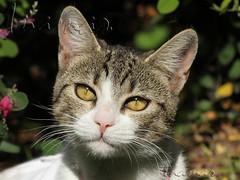 Kiwa (Marina-Inamar) Tags: gatos felinos animales bigotes coth5