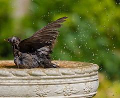 1C8A1328 (Stu thatcher) Tags: bird uk water bath fast shutter speed birds wet splash britain england english worcester worcestershire