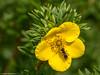Gelb - Grün (J.Weyerhäuser) Tags: felder windig focustracking insekten grashüpfer hechtsheim schmetterling
