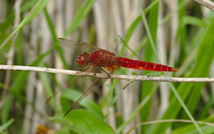 scarlet_dragonfly