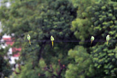 IMG_7423 (uday khatri photography) Tags: udaykhatriphotography art amazing abstract animal nature bird birds parrot bulbul flying beautiful ahmedabad india wildlife udaykhatri city evening