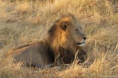 IMGP9250 (Claudio e Lucia Images around the world) Tags: lion moremi botswana chobe savute sleep sun earlymorning sunrise