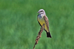 King of the West (Jan Nagalski) Tags: nature wildlife bird kingbird westernkingbird cattail grassland rockymountainarsenalnwr denver commercecity colorado bokeh backgroundblur blur june jannagalski jannagal