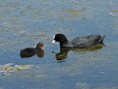 Coot and chick (deannewildsmith) Tags: staffordshire bartonmarina coot bird earthnaturelife