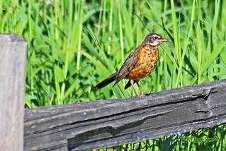 Juvenile American Robin 17-0624-7932