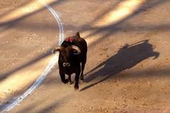 Juan Pedro Domecq (aficion2012) Tags: istres francia france corrida bullfight bull toro toros taureau fundi elfundi juan pedro domecq tauromachie tauromaquia elevage ganaderia