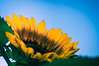 Day 158 ~ sunflower (champbass2) Tags: day158 2017 vibrance bright yellow
