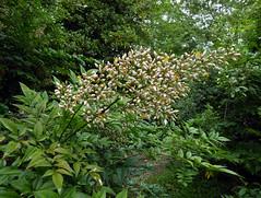 Nandina domestica Thunb.  1781 (BERBERIDACEAE) (helicongus) Tags: nandinadomestica nandina berberidaceae jardínbotánicodeiturraran spain