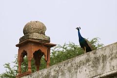 National Bird (Diptak Das) Tags: india inde newdelhi delhi nature photojournalism naturalbeauty bird birds animal indianbird peacock indianpeacock beauty street citystreets wildlife