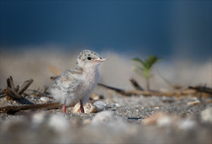 The Incredible Journey (Kathy Macpherson Baca) Tags: animal bird birds tern world aves leasttern endangered beach feathers chick wildlife nature planet nest nesting young migrate cute fuzzy baby parents dunes ocean fish bay inlet eggs protect fly flying earth