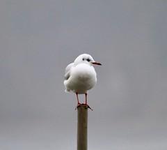Gull (Bakuman3188) Tags: möwe måsfåglar 鷗 чайковые カモメ科 larídeos 갈매기과 mewowate måker máfar gabbiani mågefugle gull laridae lokit