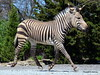 DSC_0281 (Sketchpoet) Tags: zebra mountainzebra zoo hartmannsmountainzebra louisvillezoo stripes