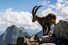 DSC_0155 (Landscape daynnight) Tags: nature animals animal ibex mountains wow awsome naturelovers nice switzerland swissalps alps alpstein säntis rotstein tiere berge