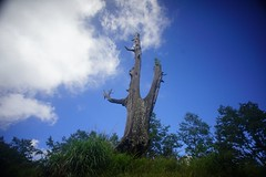 DSC07867 (rc90459) Tags: 最後的夫妻樹 夫妻樹 塔塔加 玉山