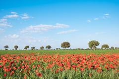 Amapolas (★ Angeles Antolin ★) Tags: castillayleon palencia spain amapolas rojo campo arboles angeles antolin