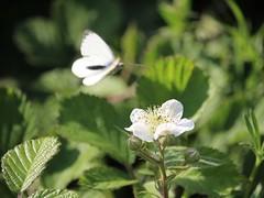 Oedemera nobilis (Wildlife Terry) Tags: oedemera nobilis greenveined white brambles beetle pollinatinginsects blinddate surprise amateurphotography butterfly cheshirecountryside