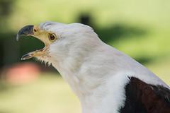 Weißkopf Seeadler (muman71) Tags: dsc9351 adler d610 sigma70200ex 2017 iso200 f63 185mm 1500sec nikon