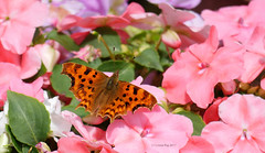 Colour clash (yvonnepay615) Tags: panasonic lumix gh4 nature insect butterfly comma mygarden coth coth5