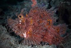 Rhinopias frondosa (Randi Ang) Tags: rhinopiasfrondosa padang bai bali indonesia underwater scuba diving dive photography macro randi ang canon eos 6d 100mm randiang fish