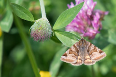Burnet companion moth (Happy snappy nature) Tags: burnetcompanionmoth closeup detail nature wildlife colourful outdoors shropshire