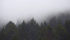 Hide And Seek (nrg_crisis (off and on)) Tags: california mist conifers humboldt fog
