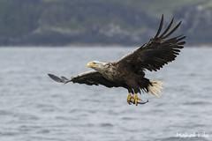 White Tailed Sea Eagle (happygrumpz) Tags: wildlife birds raptor raptors eagles sea white tailed eagle