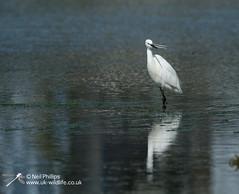 Little egret in West Looe River-3 (Neil Phillips) Tags: ardeidae aves egrettagarzetta littleegret neoaves pelecaniformes bird footed heron longlegs longneck yellow