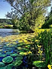 Seeblumen (almresi1) Tags: lake flowers water remstal