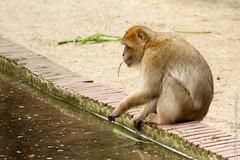 IMG_0589.jpg (wfvanvalkenburg) Tags: ouwehandsdierenpark monkey familie